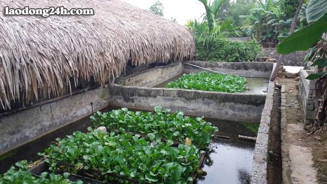Bể bê tông nuôi lươn theo phương pháp sử dụng thuốc tránh thai trộn vào thức ăn cho lươn của ông